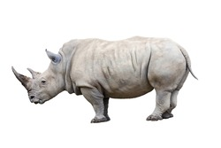 Rhino rhinoceros standing side view isolated on white background.