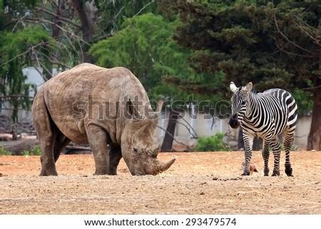 Rhinoceros and a zebra - safari animals peacefully grazing