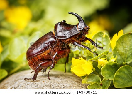 Rhinoceros beetle - Arthropoda - Rhinoceros beetles have become popular pets in parts of Asia  #143700715
