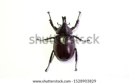 Rhinoceros beetle, Hercules beetle, Unicorn beetle, horn beetle, male on white background Foto stock ©