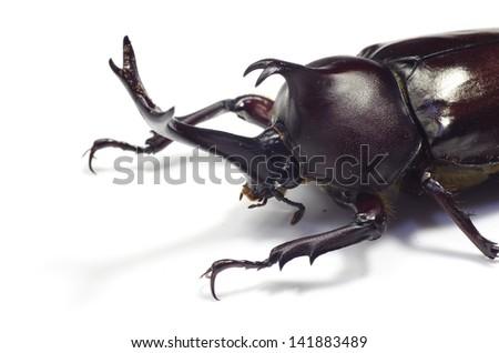 Rhinoceros beetle isolated on white.