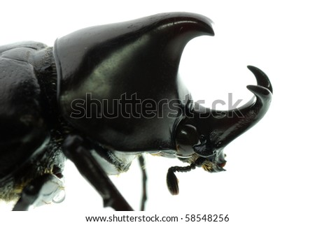 rhinoceros beetle macro isolated on white - stock photo