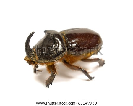 rhinoceros beetle on the white isolate background