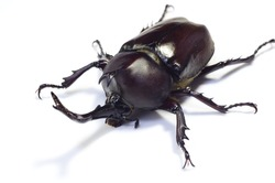 Rhinoceros beetle on white.