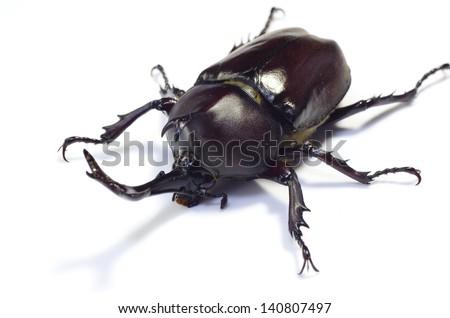 Rhinoceros beetle on white.