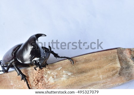 Rhinoceros beetle, Rhino beetle, Hercules beetle, Unicorn beetle, Horn beetle. #495327079