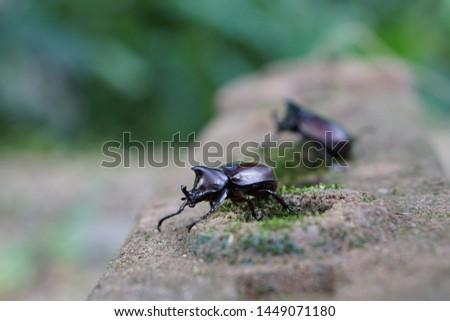 Rhinoceros Beetles,Scarab Beetles  Dynastinae beetle or xylotrupes gideon walking on the bricks . #1449071180
