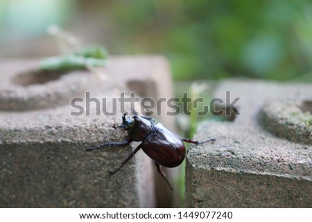 Rhinoceros Beetles,Scarab Beetles  Dynastinae beetle or xylotrupes gideon walking on the bricks . #1449077240