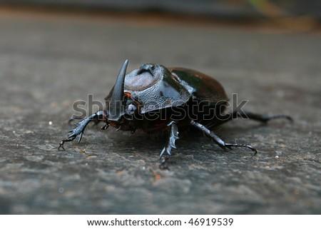 Rhinoceros Bug
