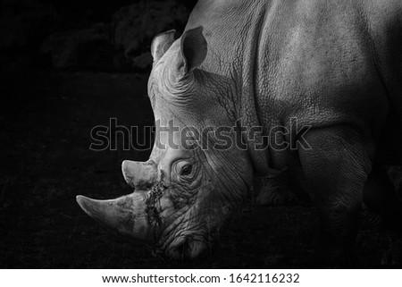 Rhinoceros close up fine art portrait