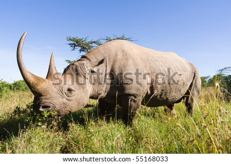 Rhinoceros in the South Africa savannah