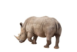 Rhinoceros isolated on White Background. Close up view of a white rhinoceros also called square-lipped rhinoceros, Ceratotherium simum species. Massive animal in dirty  during a sunny day.