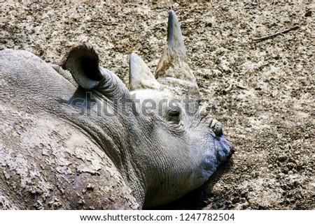 Rhinoceros laying down #1247782504