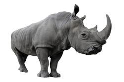 Rhinoceros on a white background