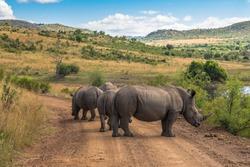 Rhinoceros. Pilanesberg national park. South Africa.