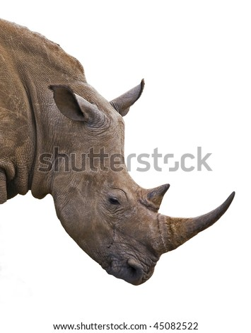 Rhinoceros portrait in front of white background