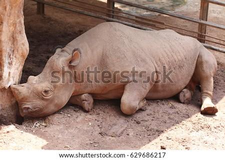 Rhinoceros rest in the sun #629686217