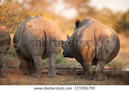 Rhinos seen from behind, near Kruger National Park - stock photo