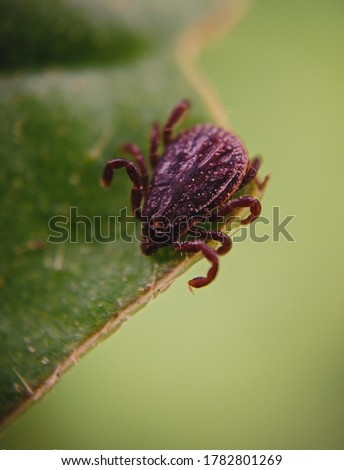 Rhipicephalus sanguineus, commonly called thebrown dog tick,kennel tick,orpantropical dog tick, is a species oftickfound worldwide, but more commonly in warmer climates.
