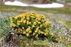 Rhodíola rósea. Rhodiola rosea is a medicinal plant. Rhodiola quadrifida. Crassulaceae. golden root, rose root, roseroot, Aaron's rod, Arctic root, king's crown, lignum rhodium