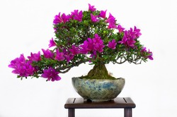 Rhodendron as bonsai with flowers