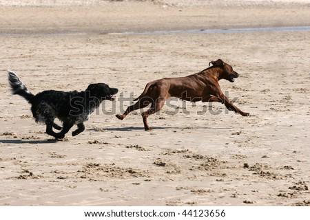 Rhodesian Ridgeback and black dog running on the beach