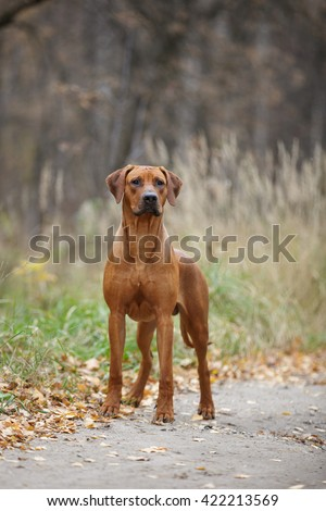 rhodesian ridgeback big strong red dog standing in autumn landscape #422213569