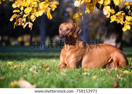 Rhodesian ridgeback dog #758153971