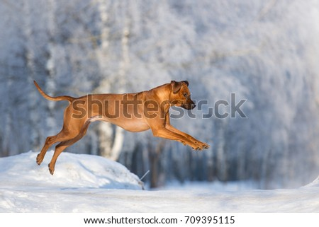 Rhodesian Ridgeback dog beautifil running in bright winter christmas landscape #709395115