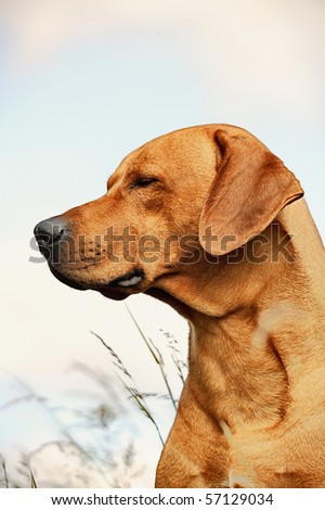 Rhodesian Ridgeback Dog dreams in the evening