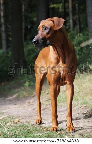 Rhodesian ridgeback dog female standing. #718664338