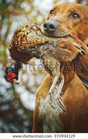 rhodesian ridgeback dog hunting #193904129