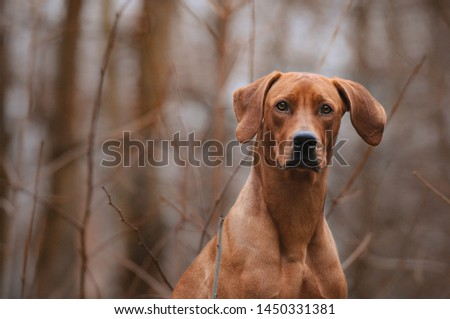Rhodesian ridgeback dog in park, outside #1450331381