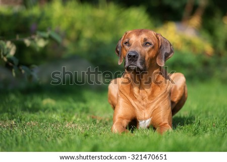 rhodesian ridgeback dog lying down on grass