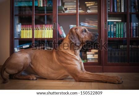 Rhodesian Ridgeback dog on the background of books, office, business dog
