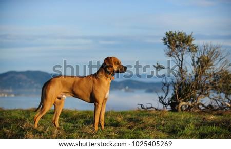 Rhodesian Ridgeback dog outdoor portrait standing in field #1025405269
