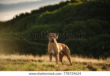 Rhodesian Ridgeback dog outdoor portrait standing in field #778729624