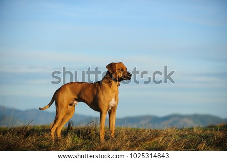 Rhodesian Ridgeback dog outdoor portrait standing in field overlooking mountains #1025314843