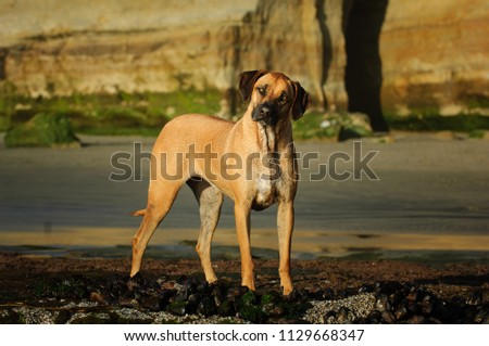 Rhodesian Ridgeback dog outdoor portrait standing with rocks in the background #1129668347