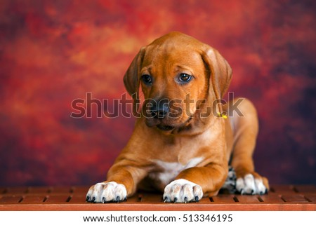 Rhodesian Ridgeback dog puppy  #513346195