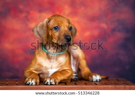 Rhodesian Ridgeback dog puppy  #513346228