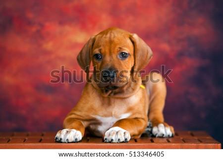 Rhodesian Ridgeback dog puppy  #513346405
