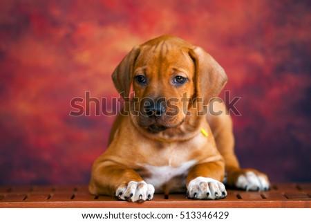 Rhodesian Ridgeback dog puppy  #513346429