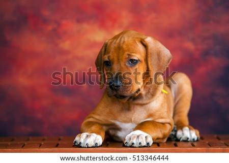 Rhodesian Ridgeback dog puppy  #513346444