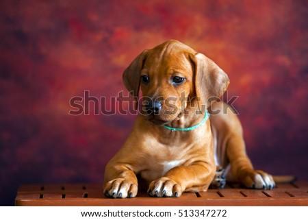 Rhodesian Ridgeback dog puppy #513347272