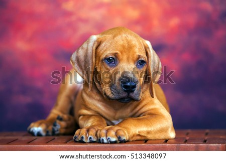 Rhodesian Ridgeback dog puppy #513348097
