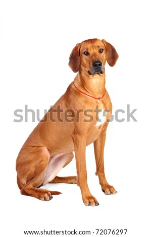 Rhodesian Ridgeback Dog sitting in studio on a white background #72076297