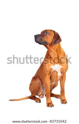 Rhodesian Ridgeback Dog sitting in studio on a white background