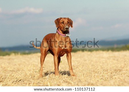 Rhodesian ridgeback dog standing in the field