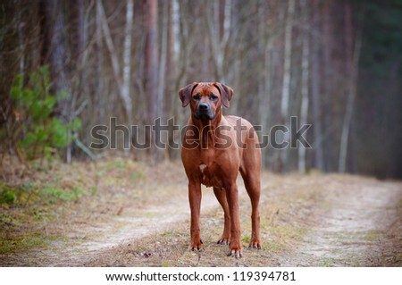 rhodesian ridgeback dog standing in the forest #119394781